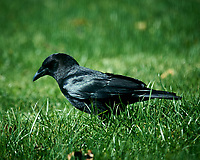 Black Crow. Image taken with a Nikon D4 camera and 600 mm f/4 VR lens (ISO 100, 600 mm, f/4, 1/400 sec)