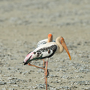 The painted stork (Mycteria leucocephala) is a large wading bird in the stork family. It is found in the wetlands of the plains