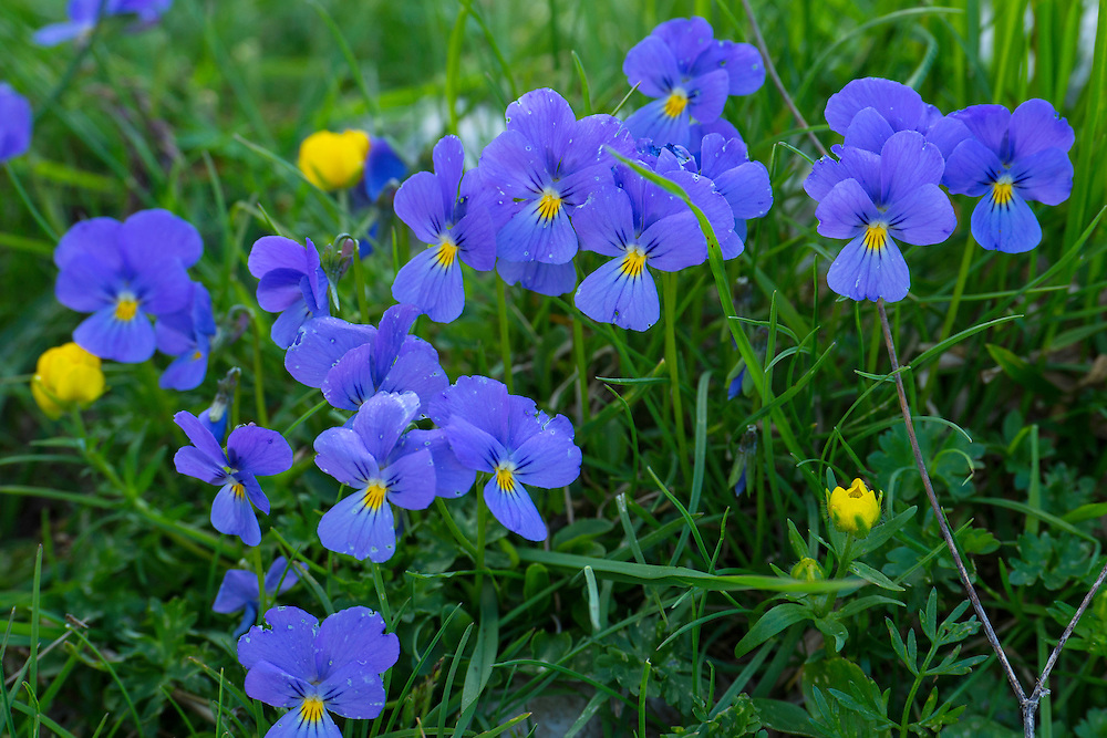 Central Apennines Pansy, Viola magellensis, endemic in the Central Apennines rewilding area, Italy, in and around the Abruzzo, Lazio e Molise National Park.