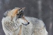 Headshot of Wolf at Langedrag Wildlife park | Portrettbilde av Ulv på Langedrag Naturpark