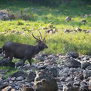 Male Sambar Deer (Rusa unicolor equinus AKA Cervus unicolor) in Huai Kha Kaeng, Thailand.