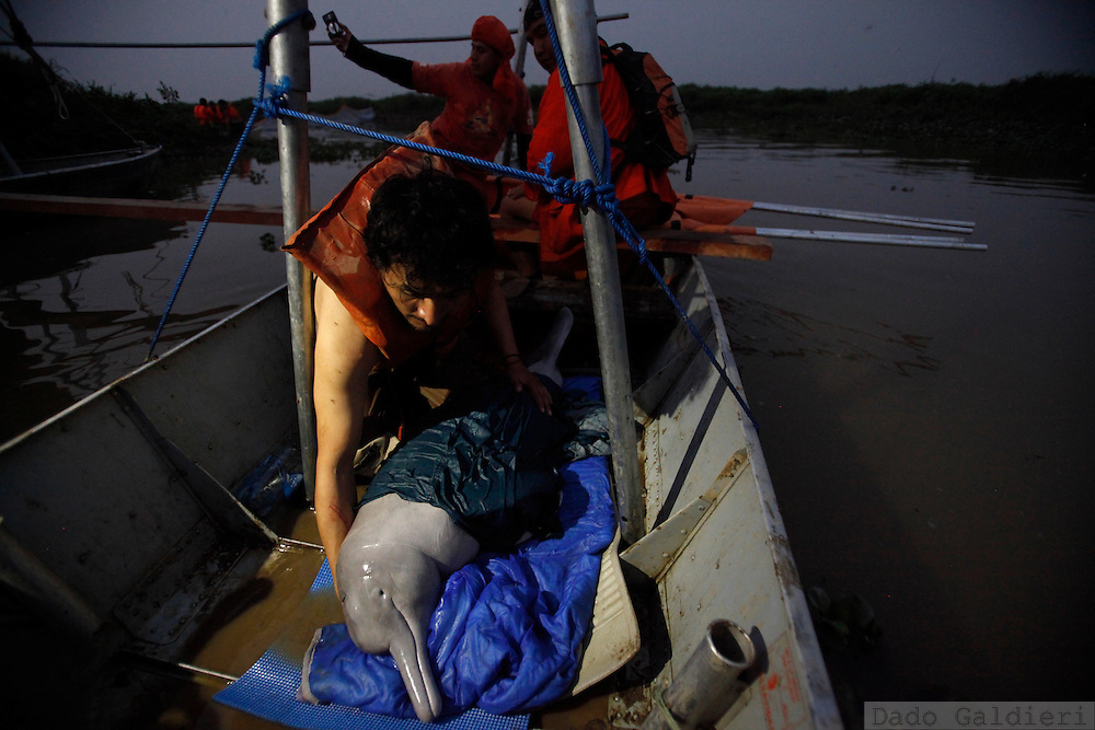 Bolivian biologist Enzo Aliaga takes care of a baby pink dolphin preventing him to jump from a rescue boat  at the Pailas river near Las Londras farming complex, Santa Cruz, Bolivia, Monday, Aug. 23, 2010.