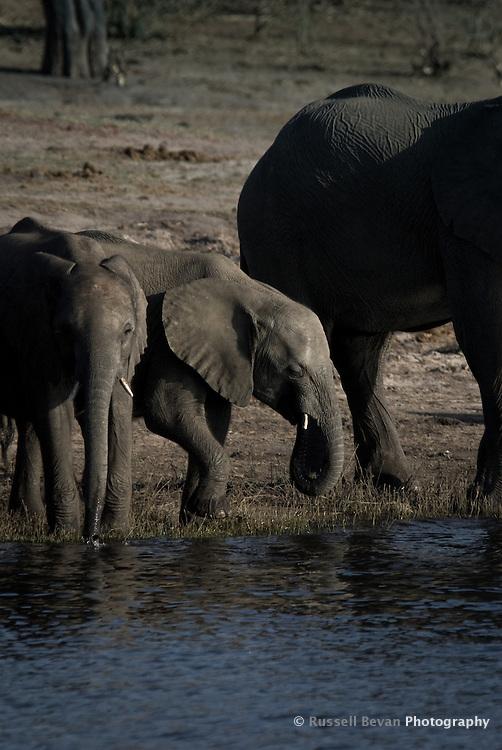 Two Kalahari Elephant calves drinking on a riverbank in Chobe National Park Botswana