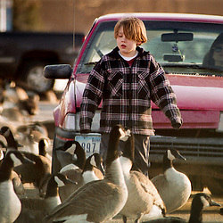 "Thomas Steele,9, shews away Canada geese away from his mother's car, Gayle Steele Thursday afternoon. The Steele's including daughter Rae Jean,8, originally from Oklahoma have been feeding the geese everyday for a week since they arrived in Rochester. ""We don't have geese like this Oklohoma"", said Gayle Steele, referring to the enormous flocks at Silver Lake. I've seen nothing like it."""