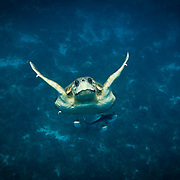 Underwater image shows a loggerhead turtle (Caretta caretta) ascending to the surface and three remoras in Gladden Spit & Silk Cayes Marine Reserve, off the coast of Placencia Village, Belize.