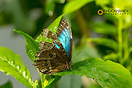 Blue Morpho butterfly at the Butterfly and Nature Conservatory in Key West Florida, USA