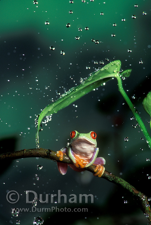 A red-eyed treefrog (Agalychnis callidryas) perched on a tropical plant in the rain. Range: tropical rainforests southern Mexico to Pananma.