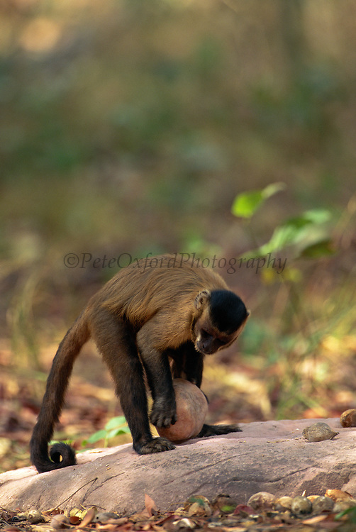 Brown Capuchin Monkey Tool Using<br />Cebus apella<br />Piaui State,  BRAZIL.  South America<br />'About to Crack Palm Nut with Rock'