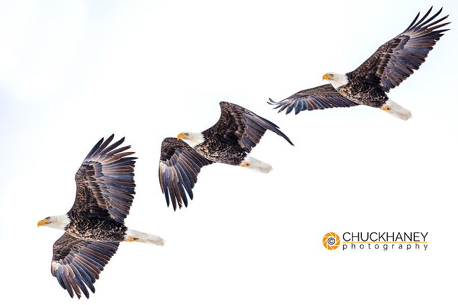Mature bald eagle in flight at Ninepipe WMA near Ronan, Montana, USA