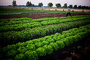 a farm worker carries an irrigation pipe through the lettuce fields at an organic farm in St Paul, Oregon