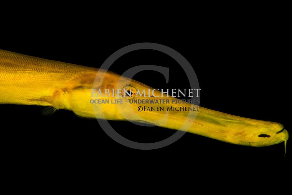 Chinese trumpetfish (Aulostomus chinensis) Tahiti