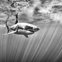 The great white sharks from Guadalupe, México.