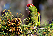 350102-1045I   ~ Copyright:  George H. H. Huey ~ Thick-billed parrot (Rhynchopsitta pachyrhyncha) in native habitat in Apache pine tree with cones. Chiricahua Mountains. Arizona. These parrots are now found only in Mexico in the wild in the Mexican state of Chihuahua in the Sierra Madre Occidental.
