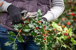 Picking holly for decorating the house at Christmas - Ilex