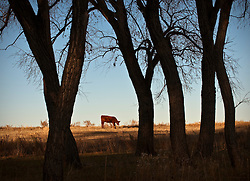 cow on a ranch grazing at sunset