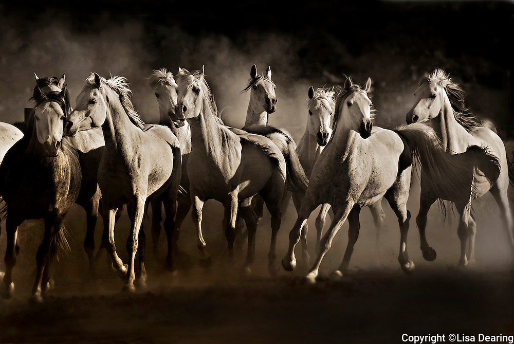Herd of White Arabian Horses