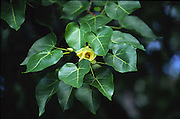 Milo tree with flower, Hawaii<br />