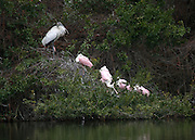 A Wood Stork and Pink Spoonbills roosting on trees near an inland pond on Jekyll Island.