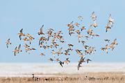 Red Knots, Calidris canutus, and Bar-tailed Godwits, Limosa lapponica, spring migration, Yukon Delta NWR, Alaska