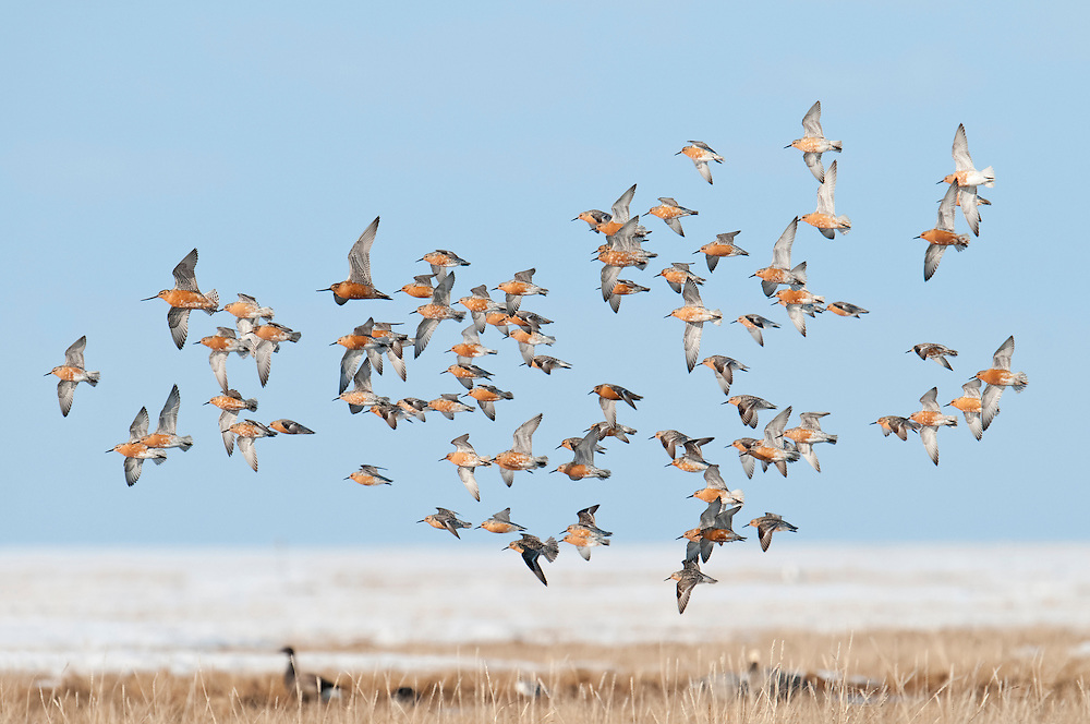 Red Knots, Calidris canutus, and Bar-tailed Godwits, Limosa lapponica, spring migration, Yukon Delta NWR, Alaska