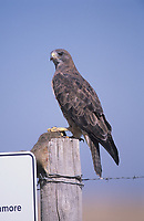 Ferruginous Hawk (Buteo regalis) perched on fence post