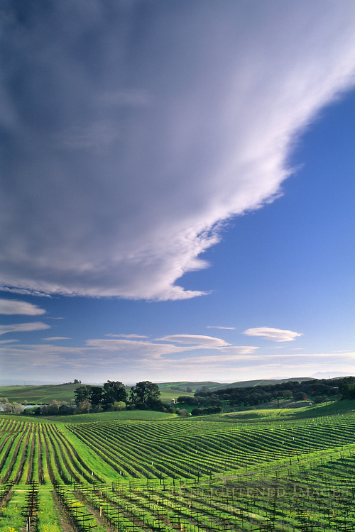 Vineyards in spring, Artesia Winery, Carneros Region, Napa County, California
