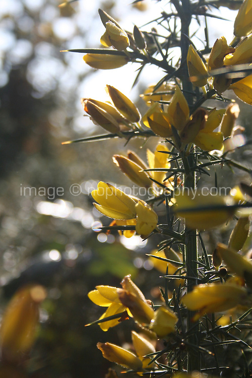 Close up of gorse plant in bloom in Dublin Ireland