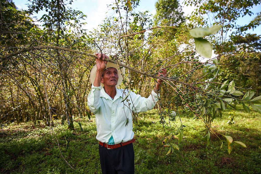 Coffee farmer Antonio Morales Velazques pulls down a branch on a tree suffering from the coffee rust fungus in Union Buenavista, Ejido, Chicomuselo, Chiapas, Mexico. (Joshua Trujillo, Starbucks)<br /> <br /> ***model released***