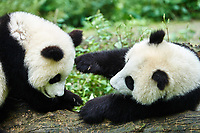 two Panda bears cubs playing Bifengxia base reserve Sichuan China