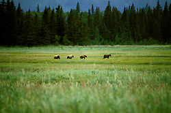 AK: Lake Clark National Park, Alaska, bear viewing,.Photo Copyright: Lee Foster, lee@fostertravel.com, www.fostertravel.com, (510) 549-2202.Image: akbear206