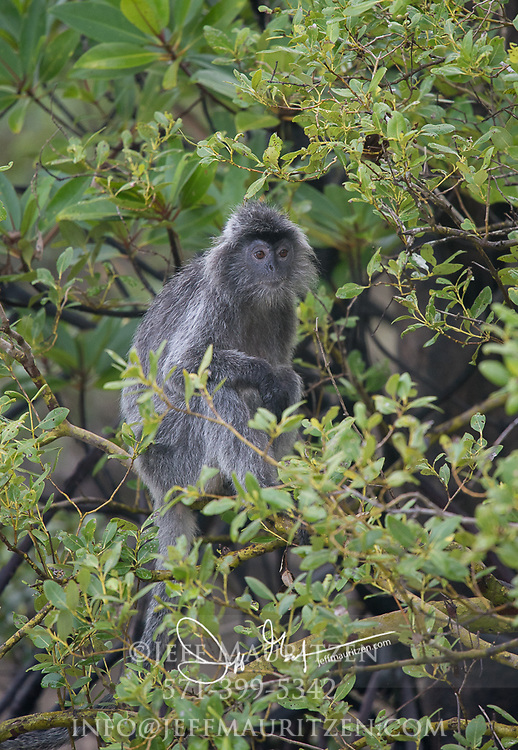 A Silvered leaf monkey sits in a tree in Bako National Park, located in Sarawak, a Malaysia state of Borneo.
