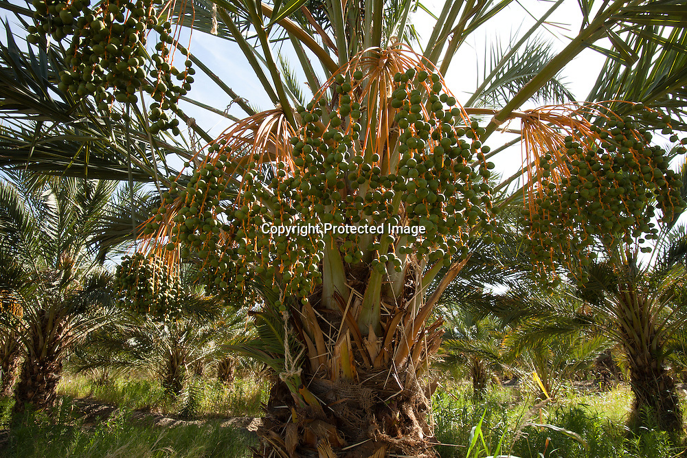 Date palm tree growing in the Imperial Valley