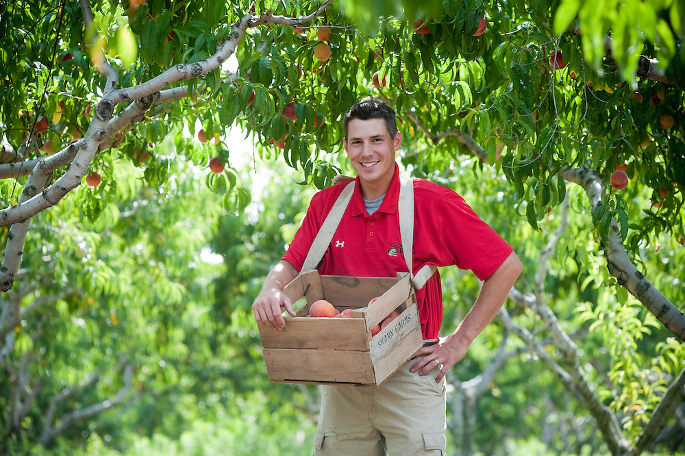 Man picking peaches on an orchard