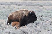 Bison nursing calf, Nursing, Feeding, Bison Calf, Baby bison, Calf, Baby, Cow Bison, Female Bison, Bison, Buffalo, Yellowstone National Park, Yellowstone, Wyoming