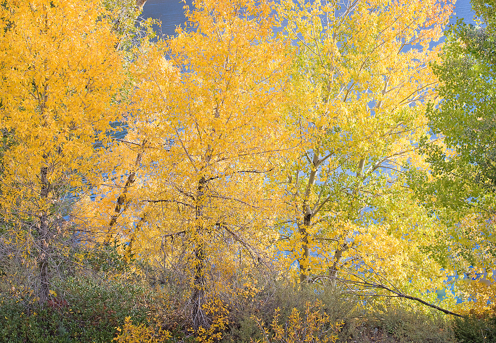 Brilliant autumn trees along along lakeshore, Swan Valley, Idaho