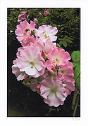 Greeting card with image of fairy roses printed on archival card stock with long lasting ink. Blank inside. Envelope included.