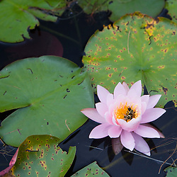 A bee in a fragrant water lily, Nymphaea odorata, on Mirror Lake in Woodstock, NH.  Near Hubbard Brook Experimental Forest.  White Mountains.