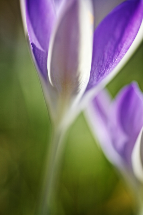 Crocus<br />