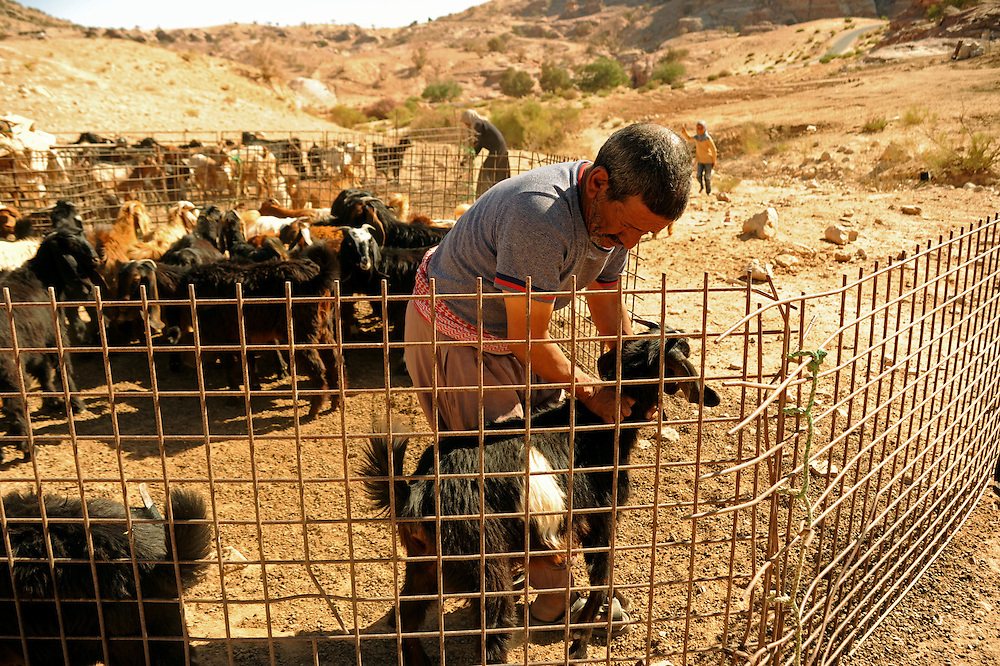 Suleiman choosing the goat he will kill to honor his guests with the traditional bedouin dish, 'mensef'
