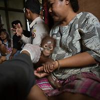 Nat Geo: Orangutans-Out on a Limb