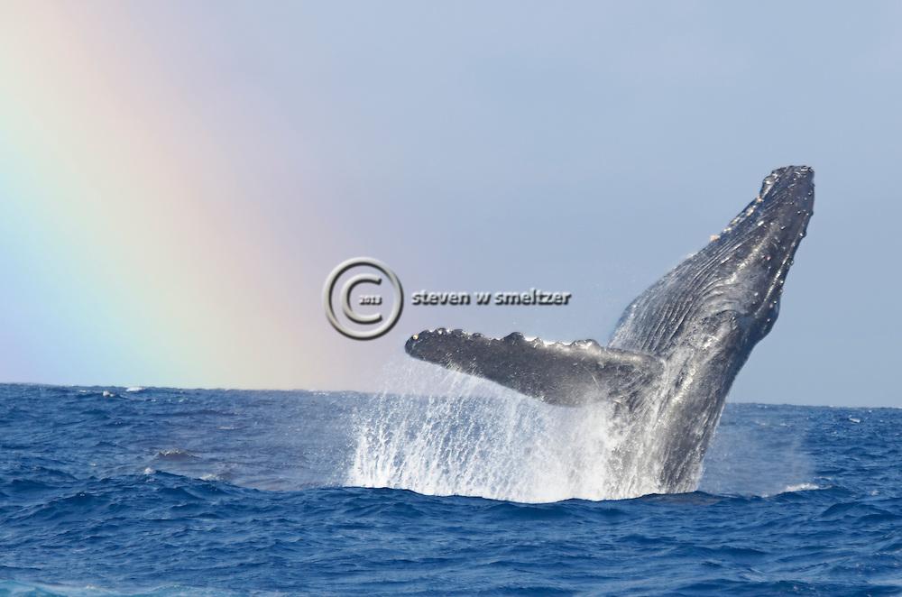 Humpback Whale breaching with a Rainbow background<br /> Humpback whale, Megaptera novaeangliae, Maui Hawaii