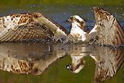 Osprey (Pandion haliaetus) diving for fish, SCotland.