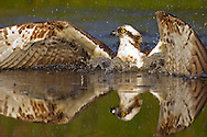 Osprey (Pandion haliaetus) diving for fish, SCotland.
