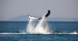 Water cascades off a humbpack whale tail in Camden Sound on the Kimberley coast.