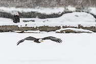 Bald Eagle (Haliaeetus leucocephalus) in flight searching for salmon in the Chilkat Bald Eagle Preserve in Southeast Alaska. Winter. Morning.