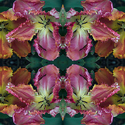 Computer abstract of altered and enhancement of colorful Parrot tulips as digital computer art.<br />