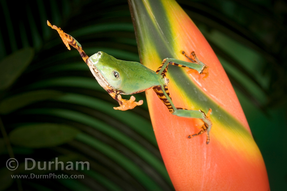 A tiger-striped leaf frog jumping from a colorful heliconia flower (sequence 2 0f 2). Range: South America, Surinam, Guyana, Brazil.