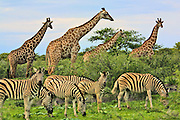 "CC Africa Afro Ventures' luxurious ""Andersson's Africa"" Safari. Morning Game drive around Etosha Pan.  Zebras and Giraffes."