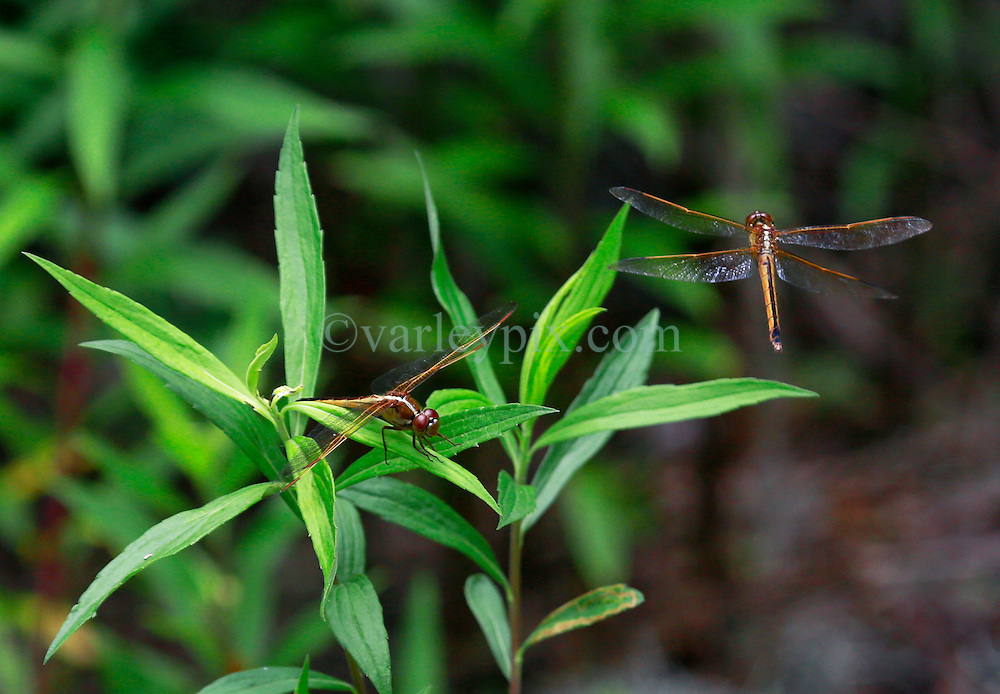02 June 2014. Jean Lafitte National Historic Park, Louisiana.<br /> Dragonflies in the swamp at the Barataria Preserve wetlands south or New Orleans.<br /> Charlie Varley/varleypix.com