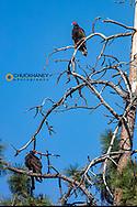 Turkey vultures on Wild Horse Island State Park, Montana, USA